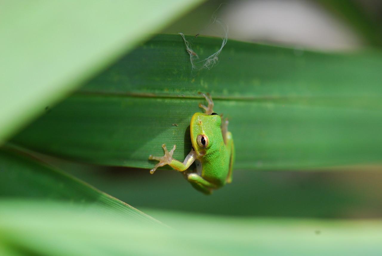 Green Tree Frog Dinner Island Ranch WMA Hendry County, Florida © 2010