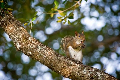 Squirrel Up A Tree Brian Piccolo Park Cooper City, Florida © 2011