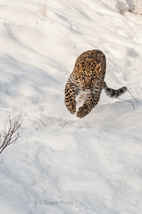 Amur Leopard Photography
