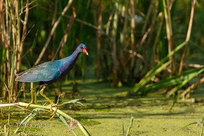 Purple Gallinule on Shoveler Pond loop 7/08/2017.