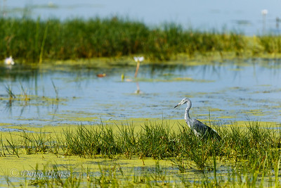 Immature Little Blue Heron on Shoveler Pond loop 7/08/2017.