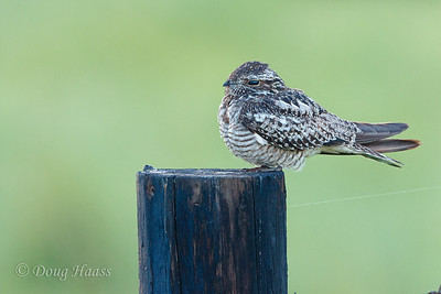 Common Nighthawk on Frozen Point road 7/15/2017.