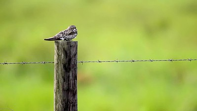 Common Nighthawk off Frozen Point road 6/17/2017