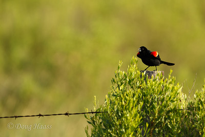 Red-winged Blackbird male  6/17/2017