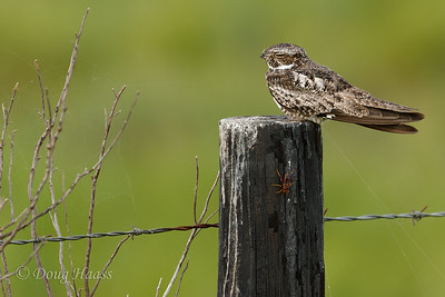 Common Nighthawk and wasp