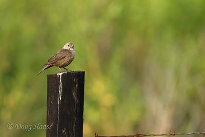 Brown-headed Cowbird adult female 7/02/2017.