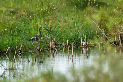 Tri-colored Heron off Frozen Point road 7/02/2017.