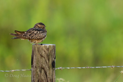 Immature Common Nighthawk on Frozen Point road 7/08/2017.
