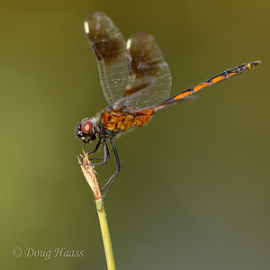 Four-spotted Pennant Dragonfly  6/17/2017