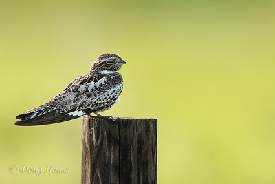 Common Nighthawk off Frozen Point road