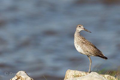 Willet off Frozen Point road facing East Bay 7/02/2017.