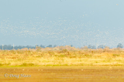 Snow Geese liftoff 12/09/2016 on FM 1985