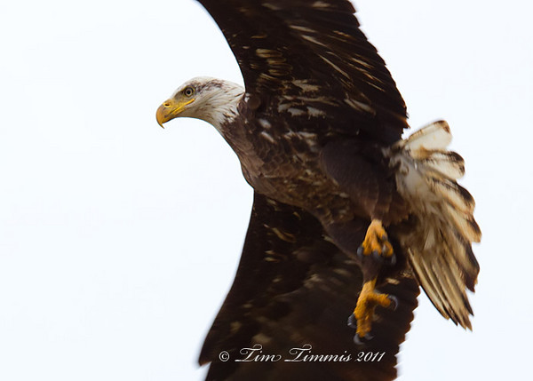 Bald Eagle from Anahuac NWR