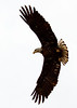 Bald Eagle from Anahuac NWR