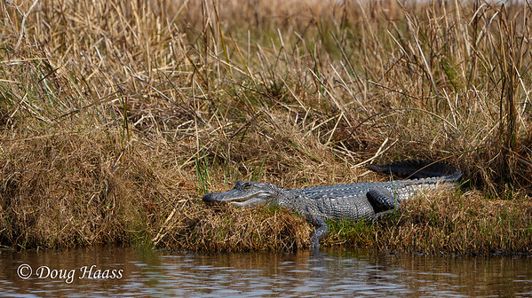 American Alligator (Alligator mississippiensis) - about a 7 footer