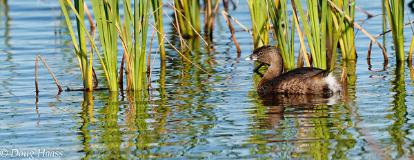 Pied-billed Grebe on Shoveler Pond 2/25/2017.
