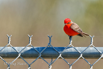 Vermillion Flycatcher (Pyrocephalus rubinus) male 1/7/2017.