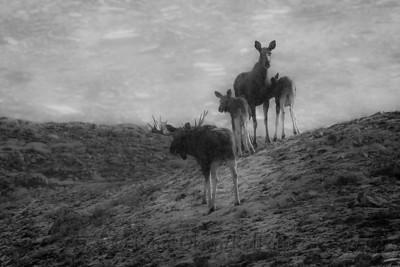 Elgfamilie på tur i høyfjellet