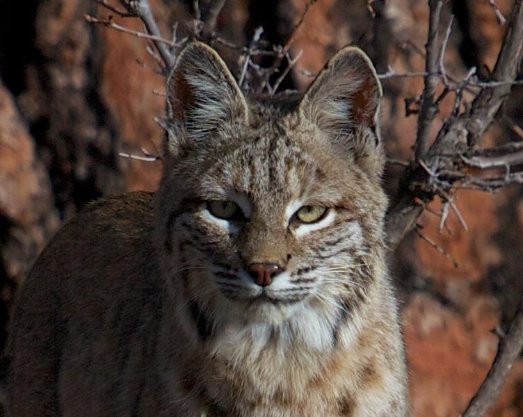 Bobcat Close