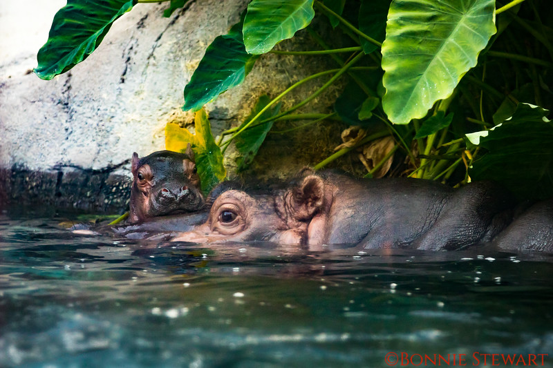 Hippo momma and baby