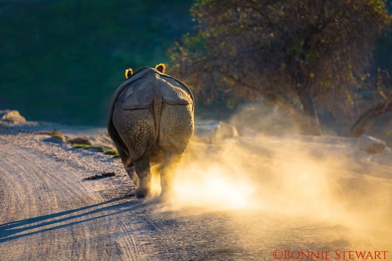 Rhino Running from something that frightened him