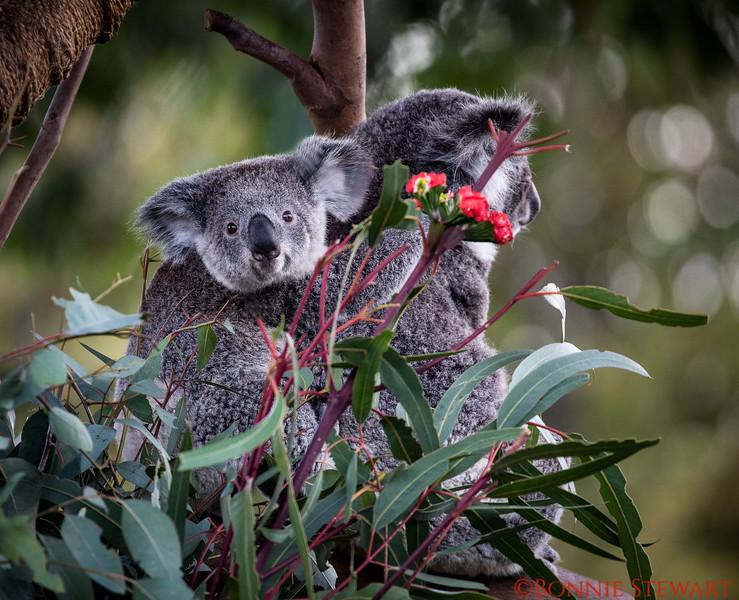Baby Koala on Moms back