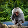 Hamadryas Baboon contemplating!