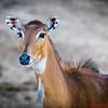 Africa Plains animal