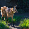 Maned Wolf, native to East and South Africa.  it is closely related to the bush dog