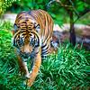 Sumantran Tiger