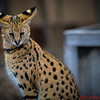 Serval a Savannah Cat