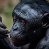 Bonobo - a very smart primate