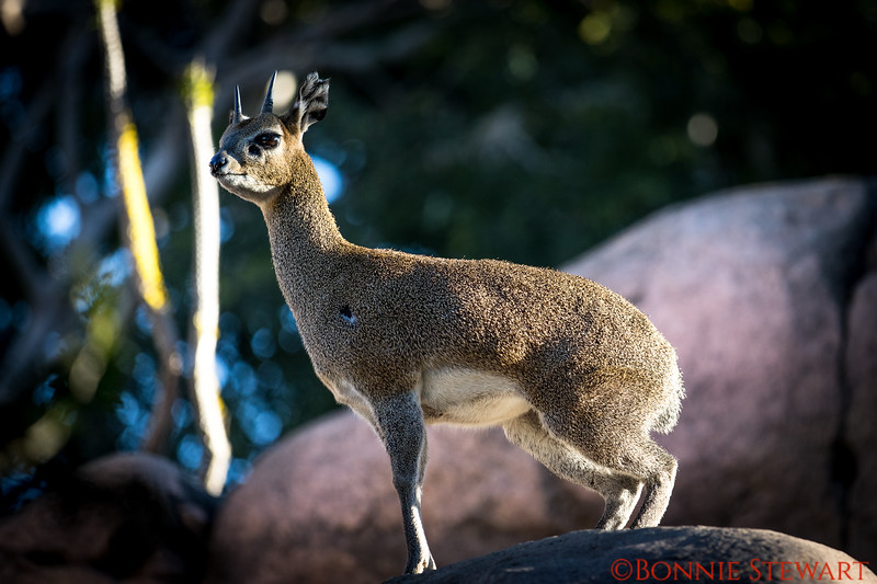 Klipspringer, a small antelope that is native to East and South Africa