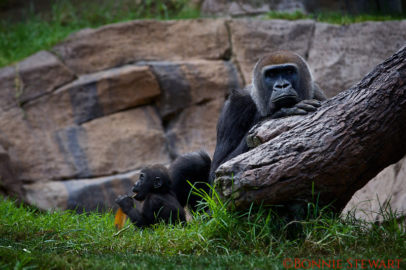 Gorilla and baby born in 2014