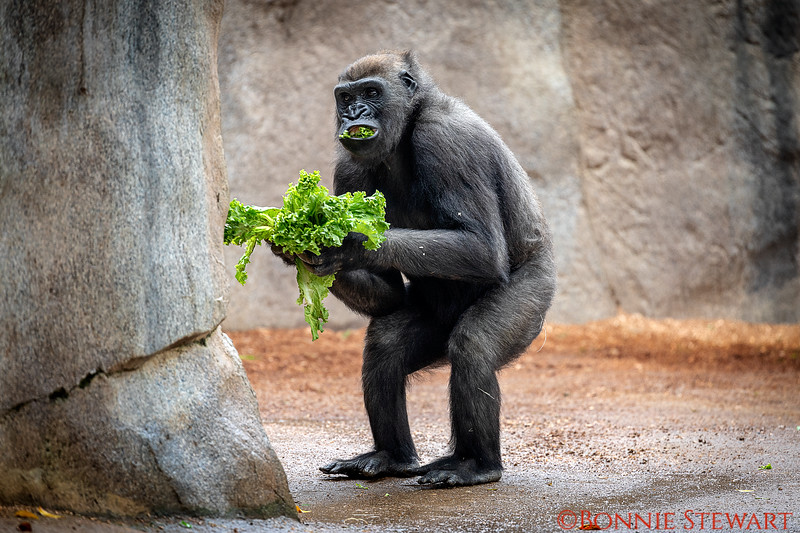 Gorilla eating lettuce