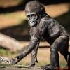 Baby Gorilla with an attitude