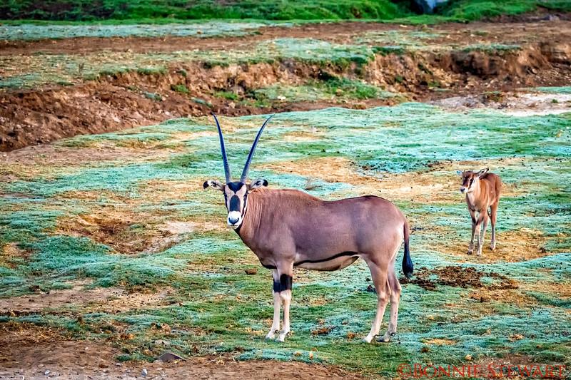 Oryx or South African Gemsbok