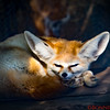 Fennec Fox, native to Sahara, North Africa.  They are a nocturnal animal