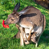 Kangaroo and baby in the pouch
