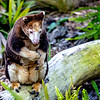 Matches Tree Kangaroo
