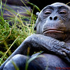 Bonobo in the San Diego Zoo, Lost Forest