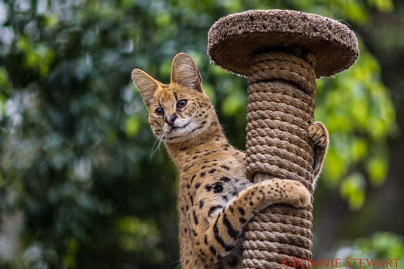 Serval a Savannah Cat