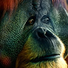 Orangutan starring through the window