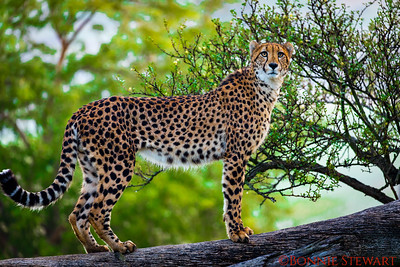 Cheetah on a tree limb