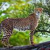 Cheetah on a tree limb