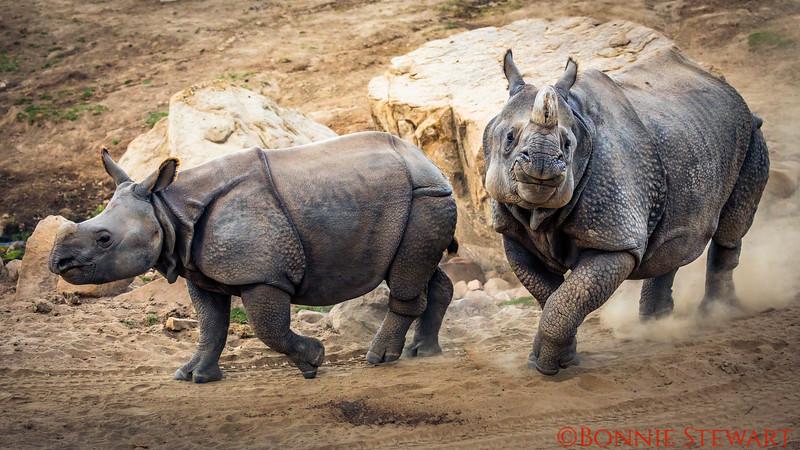 Greater One-horned Rhinos Running