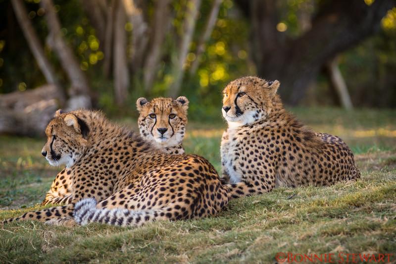 Cheetahs - one year old