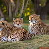 Cheetahs - one year old