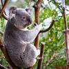 Koala Bear in a tree