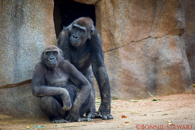 Gorillas together